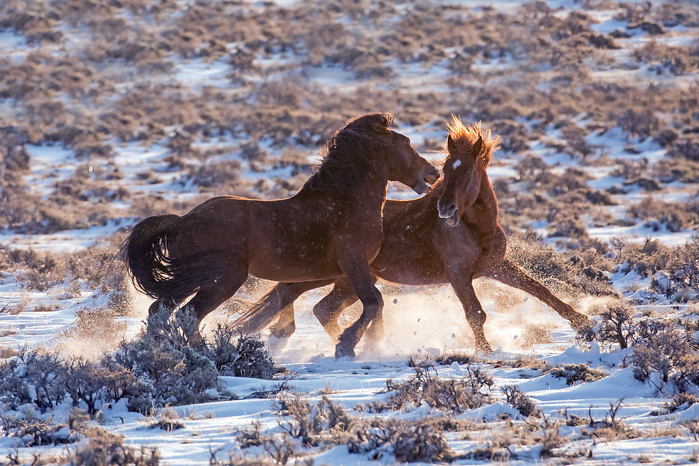 Stallions are known to be incredibly  protective of their mares.  When the sorrel stallion, Red Rocker, got too close to Tyke's mares and foal, Tyke lunged at Red Rocker, taking a big chunk out of his neck before returning to his family band.