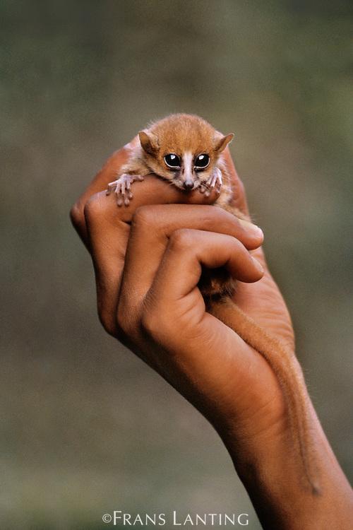 Brown mouse lemur in man's hand, Microcebus rufus, Madagascar