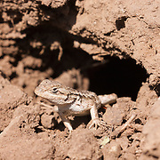A female Western Fence Lizard (Sceloporus occidentalis) emerges from its burrow high in Tilden Regional Park, Orinda, California.