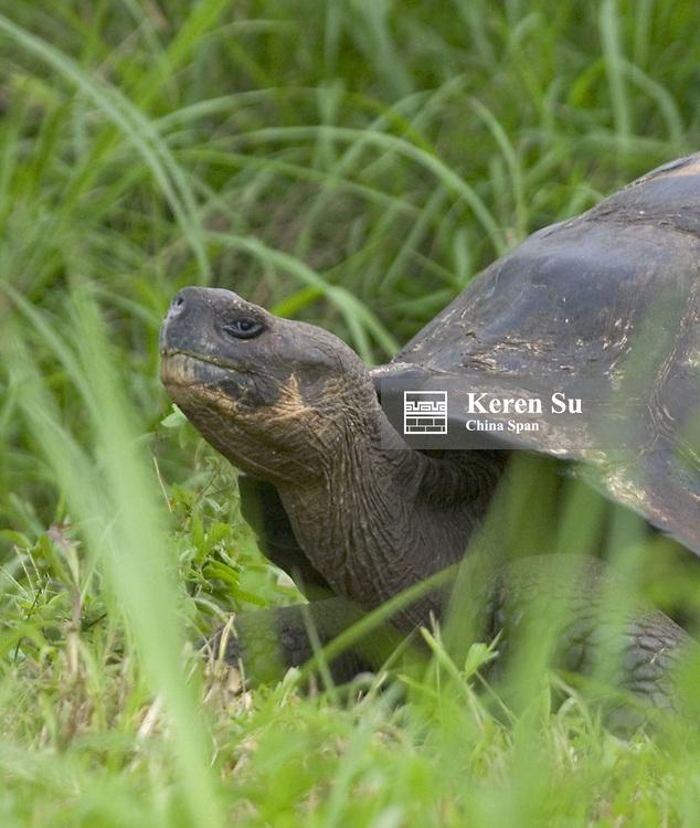 Elephant turtle in the grass, Galapagos Islands, Ecuador