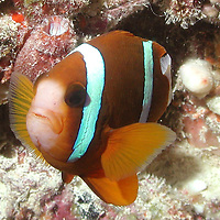 An Anemone Fish on the Great Barrier Reef, Australia.