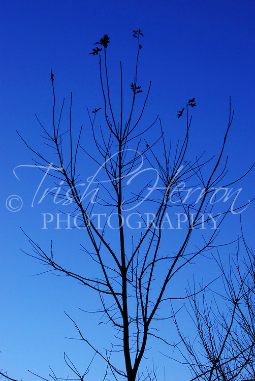 A tree which has lost most of its leaves against a dark blue sky.  Clear cold days signal the onset of winter.