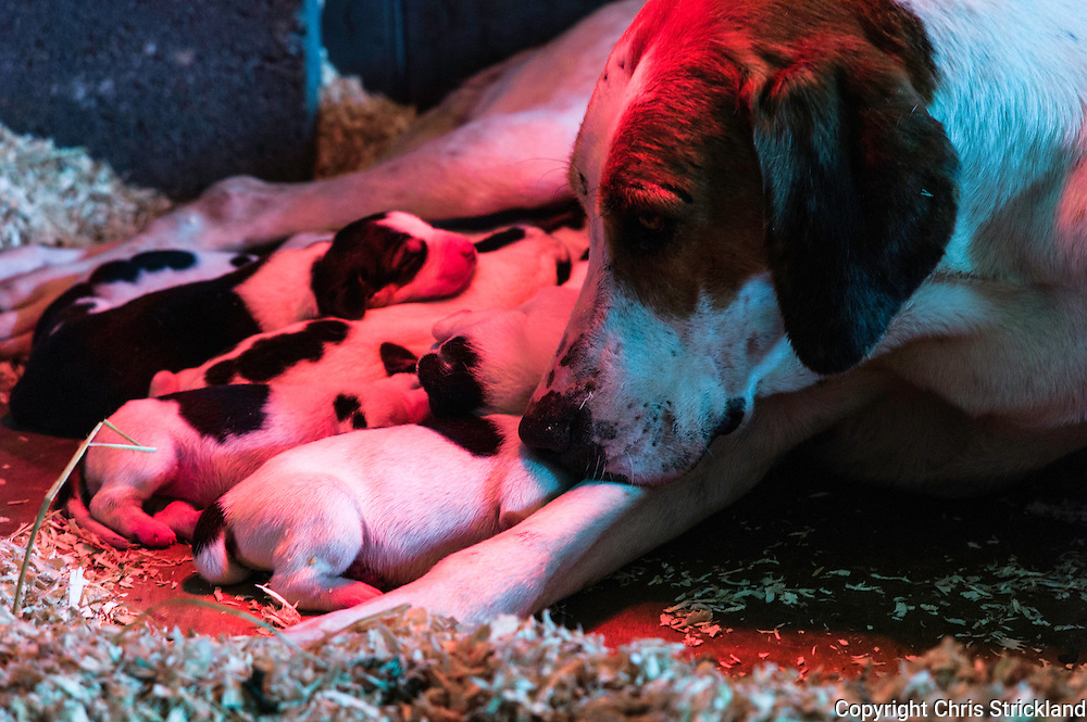 Abbotrule, Bonchester Bridge, Hawick, Scottish Borders, UK. 8th May 2015. Foxhound pups of the Jedforest Hunt from bitch Rocket suckle milk under a heat lamp.