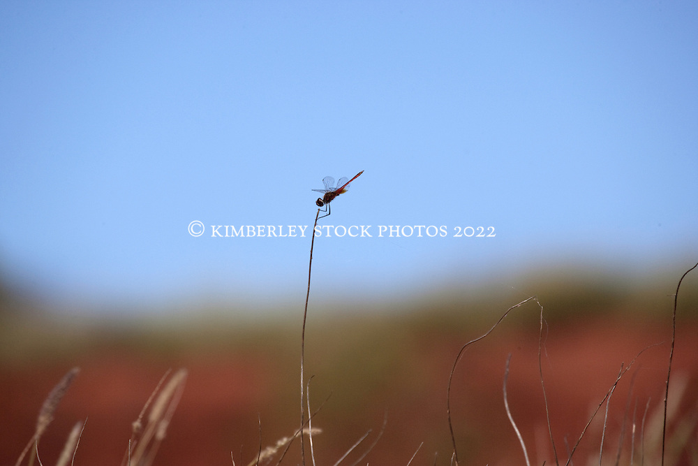 A dragonfly clings to a slender piece of grass at James Price Point on Western Australia's Kimberley coast.  James Price Point has been chosen by the Western Australian Premier, Colin Barnett as the site for an LNG gas processing hub.