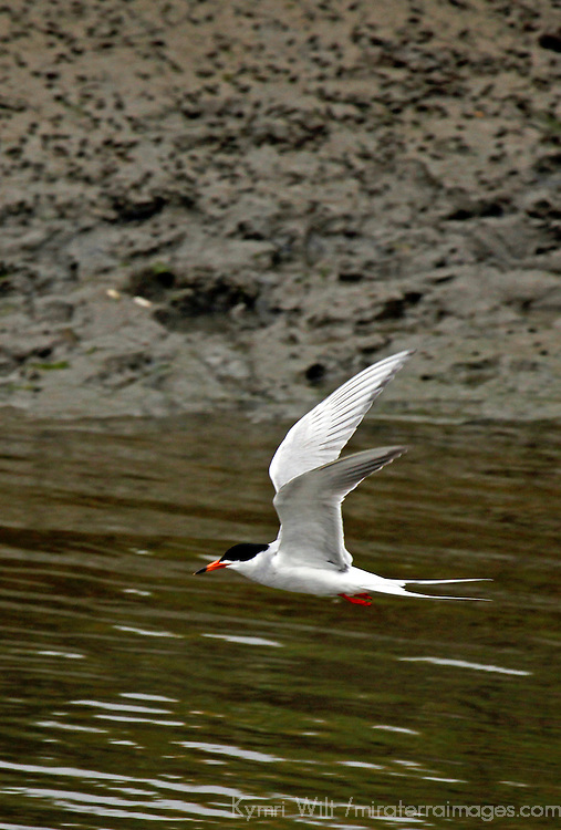 USA, California, San Diego.  Forster's Tern fishing at San Elijo Lagoon.