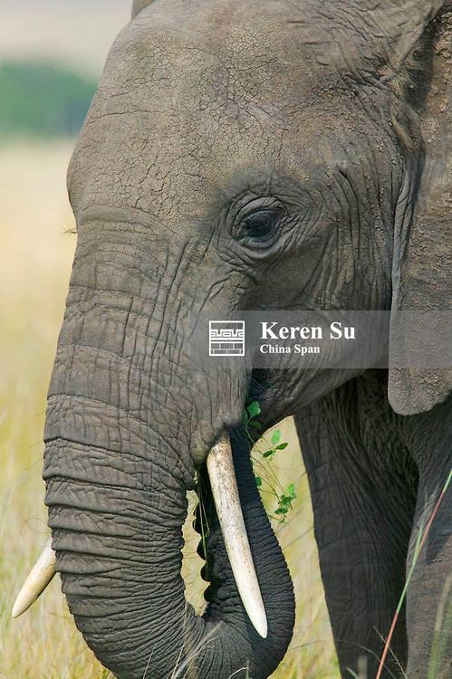 Elephants on the savanah, Masai Mara, Kenya