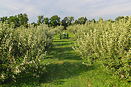 Apple orchard, BREEZE HILL FARM & PRESERVE, PECONIC, Long Island, New York
