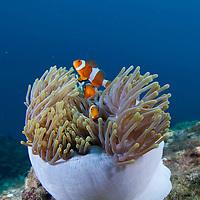 False Clown Anemonefish, Amphiprion ocellaris, in an anemone, Pulau Tenggol, Malaysia.