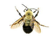 Two-spotted Bumblebee (Bombus bimaculatus)<br /> United States: Alabama: Tuscaloosa Co.<br /> Tulip Tree Springs off Echola Rd.; Elrod<br /> 28-Jun-2016<br /> J.C. Abbott #2840 &amp; K.K. Abbott