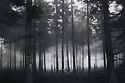 Fir forest in the High Fens, Belgium on a misty November day.