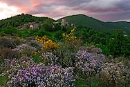 France, Languedoc Roussillon, Gard (30), Cevennes, Saint Roman de Codières, fleurs de Thym  et serpolet