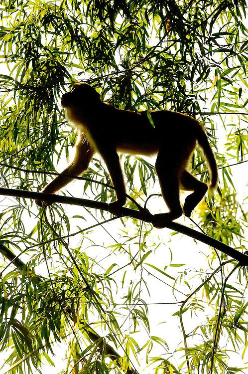 A Rhesus monkey in the bamboo in Savannakhet, Laos.