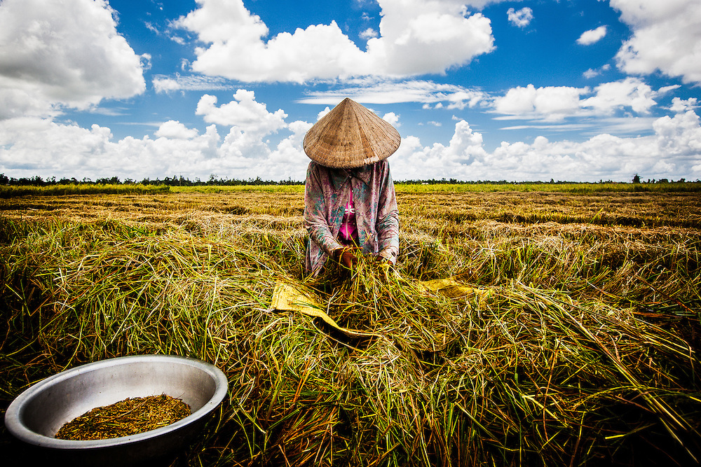 A young girl works on harvesting rice by hand in the Mekong Delta region of Vietnam.