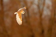 Barn Owl (Tyto alba) adult in flight, winter, Norfolk, UK.