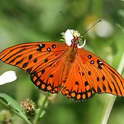 A striking Orange Gulf Fritillary Butterfly on a wild daisy, sipping nectar.