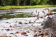 Bulldog mix jumping off rock into a stream