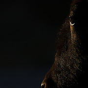 A bison shot close-up with some sunset side-lighting on his face. Taken in the Hayden Valley in Yellowstone National Park, USA.
