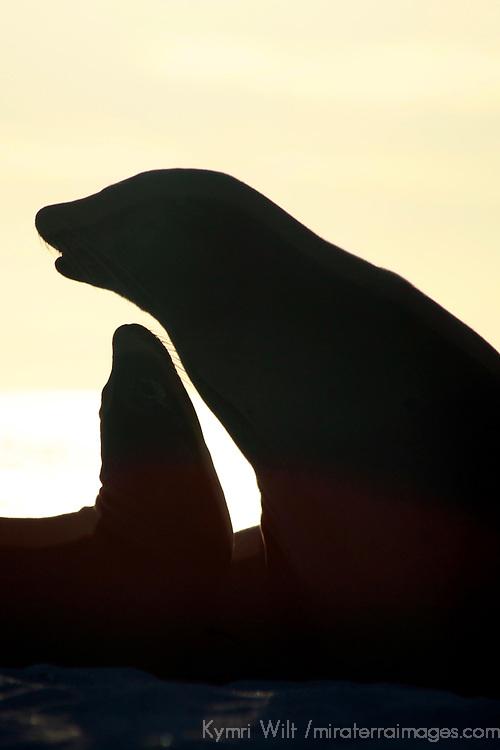 South America, Ecuador, Galapagos. Sea Lion silhouettes on Mosquera Island.