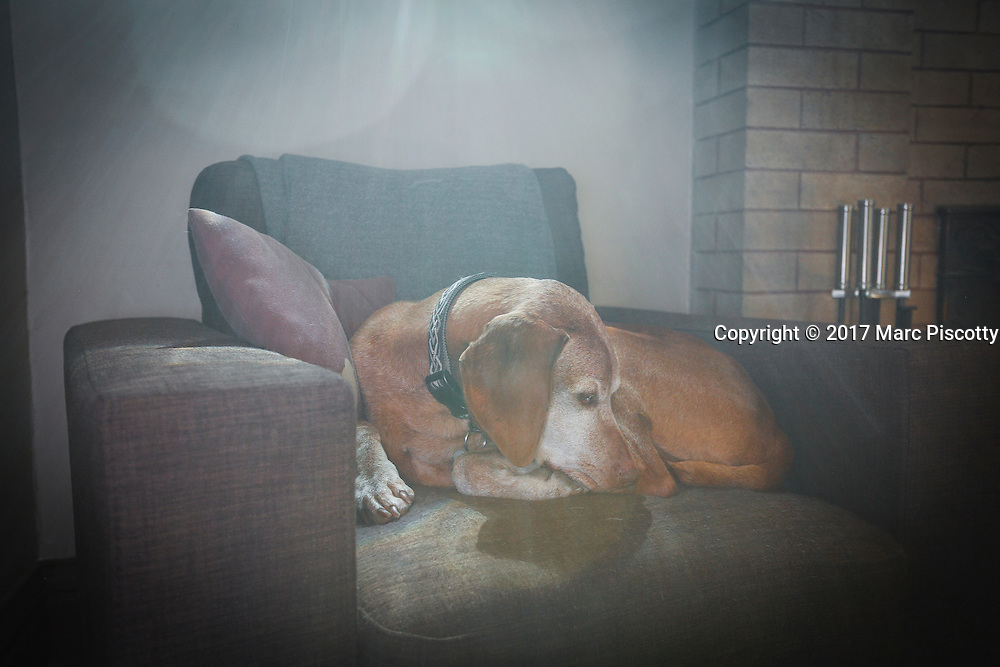 SHOT 1/27/17 1:31:16 PM - Tanner, a 12 year-old male Vizsla, napping on his favorite chair at his home in Denver, Co. The Vizsla, is a dog breed originating in Hungary. The Hungarian or Magyar Vizsla represents one of the best in sporting dogs and loyal companions and has a strong claim to being one of the smallest of the all-round pointer-retriever breeds. The Vizsla's size is one of the breed's most attractive characteristics and through the centuries he has held a unique position for a sporting dog -- that of household companion and family dog. The Vizsla is a natural hunter endowed with a good nose and an above average trainability. Although they are lively, gentle mannered, demonstrably affectionate and sensitive, they are also fearless and possessed of a well-developed protective instinct.<br /> (Photo by Marc Piscotty / &copy; 2017)