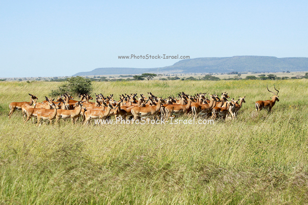 Africa, Tanzania, Serengeti National Park. A herd of Impala Aepyceros melampus the Alpha male on the right