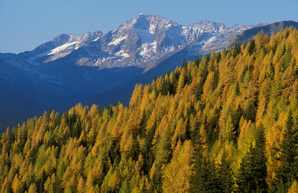 Autum and Larch trees seen from Hochalpenstrasse, Kaernten, Austria