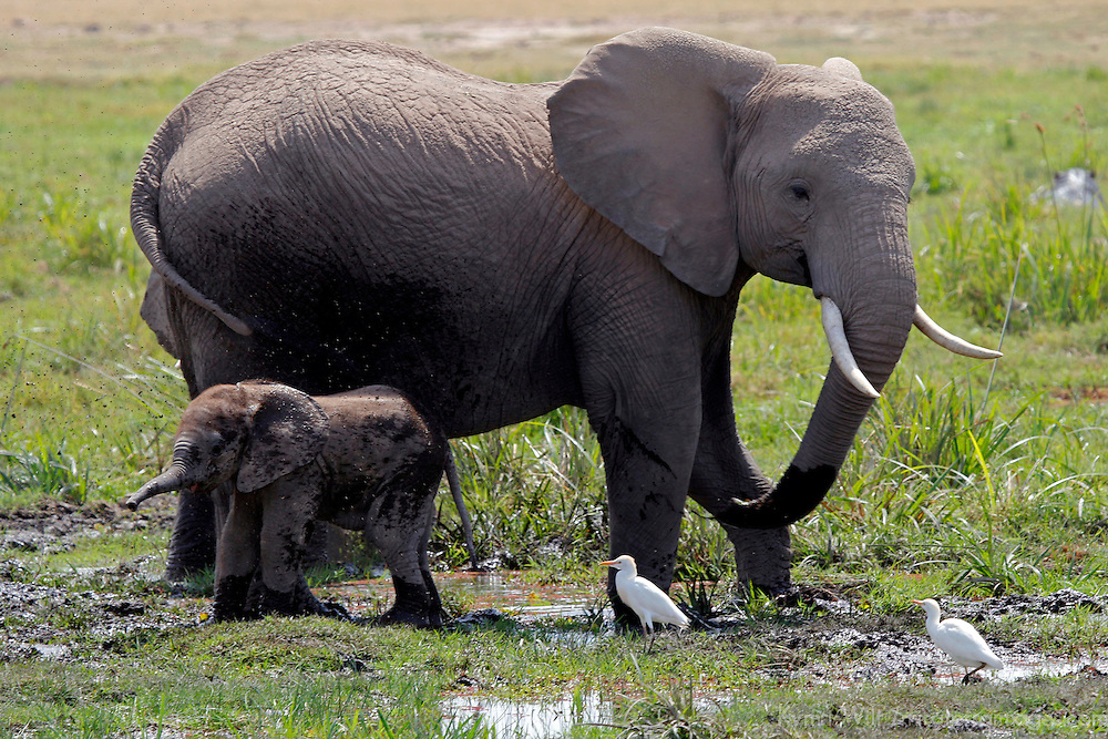 Africa, Kenya, Amboseli. Mother & baby elephant in marsh.