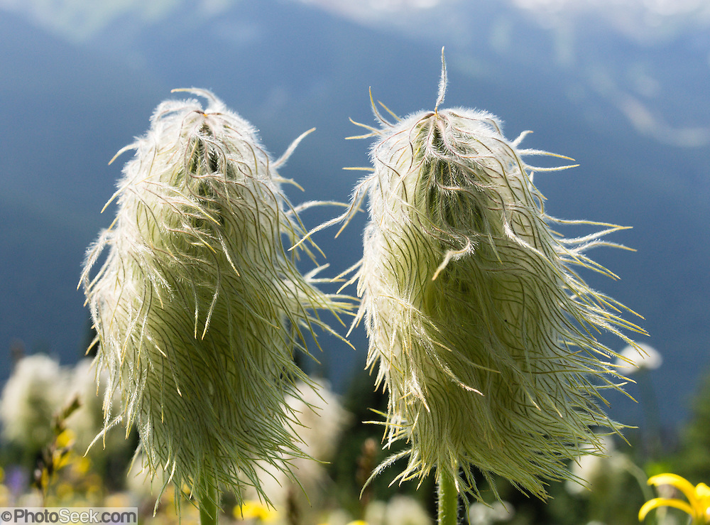 Western Pasqueflower (Anemone occidentalis, or Pasque Flower) grows on Blackcomb Mountain, in the Coast Range, British Columbia, Canada.