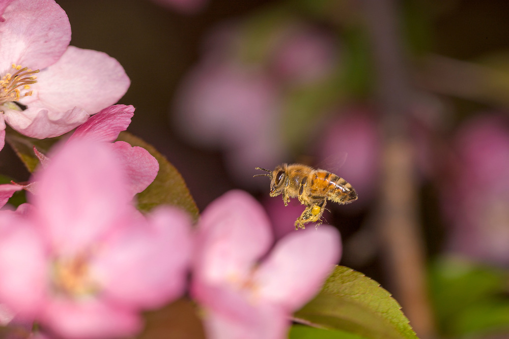 Flying Honey Bee (Apis mellifera) working Crabapple flowers