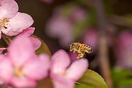 Flying Honey Bee (Apis mellifera) working Crabapple flowers