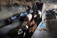 APR 2 2013 GAZA - Sheep through a smuggling tunnel