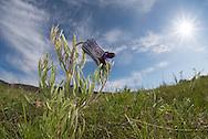 Sugarbowl (Clematis hirsutissima), Mt. Ellis, Bozeman, Montana