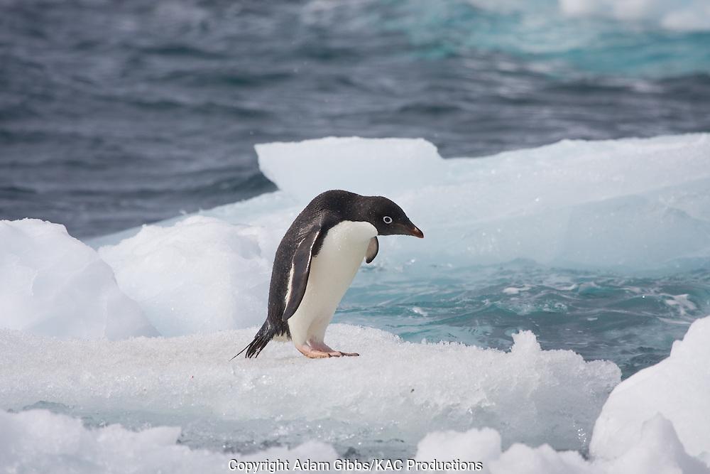 Adelie penguin, Antarctica, Pygoscelis adeliae, on ice flow at Paulet Island.