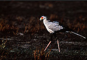 Secretary Bird. Masai Mara.