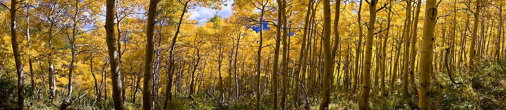 Aspen panorama, Wasatch Range, Utah