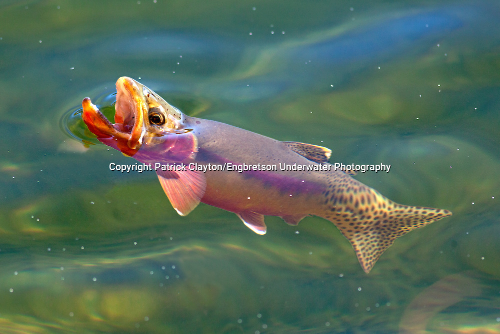 Golden Trout<br />