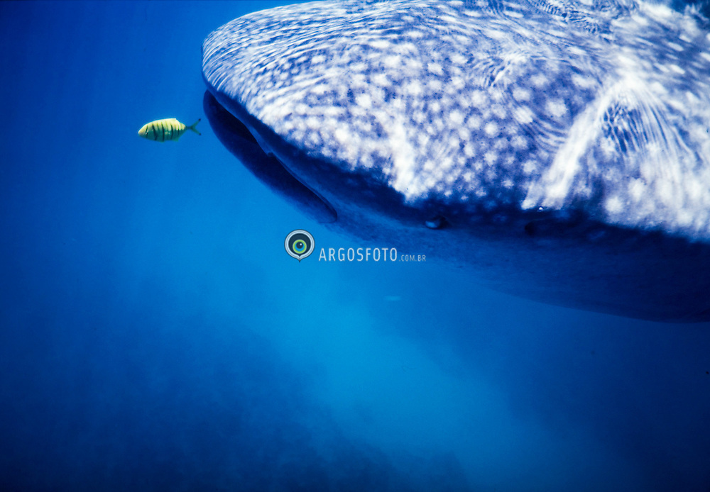 Tubarao-baleia na australia..O tubarao-baleia (Rhincodon typus), unica especie da familia Rhincodontidae, vive em oceanos quentes e de clima tropical, alem de ser a maior das especies de tubarao e o maior peixe conhecido..O tubarao baleia eh completamente inofensivo e alimenta-se de plancton por filtracao./The whale shark, Rhincodon typus, is a gentle and slow filter feeding shark that is the largest living fish species. This distinctively-marked shark is the only member of its genus Rhincodon and its family, Rhincodontidae (called Rhinodontes before 1984), which is grouped into the subclass Elasmobranchii in the class Chondrichthyes. The shark is found in tropical and warm oceans and lives in the open sea. The species is believed to have originated about 60 million years ago..Foto:Christiana Carvalho/Argosfoto