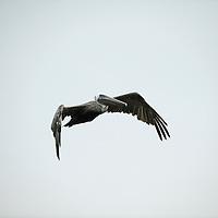 Izabal Lake, Guatemala 21 May 2008<br /> Pelican flying in Izabal Lake.<br /> Photo: Ezequiel Scagnetti