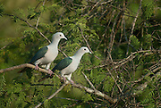 Green Imperial Pigeon. Wasgomuwa National Park.