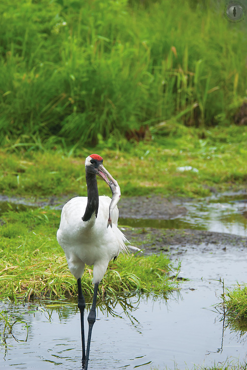 An injured red-crowned crane (Grus japonensis) feeding on a fish, taken at the Tancho Center in Tsurui, Hokkaido