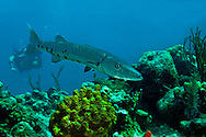 Great Barracuda, Sphyraena barracuda (Edwards in Catesby, 1771), Grand Cayman
