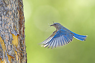 The mountain bluebird is a cavity nester that uses natural cavities, old woodpecker holes and nest boxes for nesting. The female chooses the nest site and both the male and female construct the nest which is made of stems, grass, twigs and pine needles.