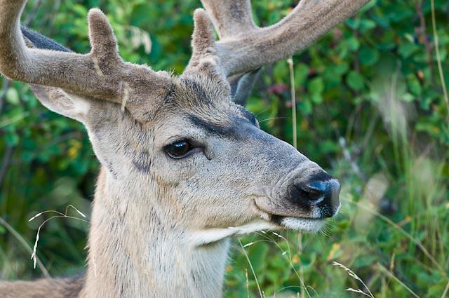 velvet mule deer buck full face close up