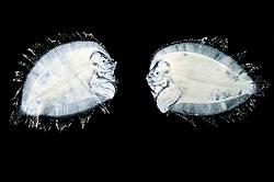[captive] Flatfish (Bothidae sp) larva with upright swimming and bilaterally symmetric bodies. When the larva develops to an adult asymmetric vertebrat, the right eye migrates from the right side of the body to the left where it 'joins' the left eye. Atlantic Ocean close to Cape Verde   Als Larven haben Plattfische (Bothidae sp.) noch eine bilateral-symmetrische Körperform und schwimmen aufrecht im offenen Wasser.