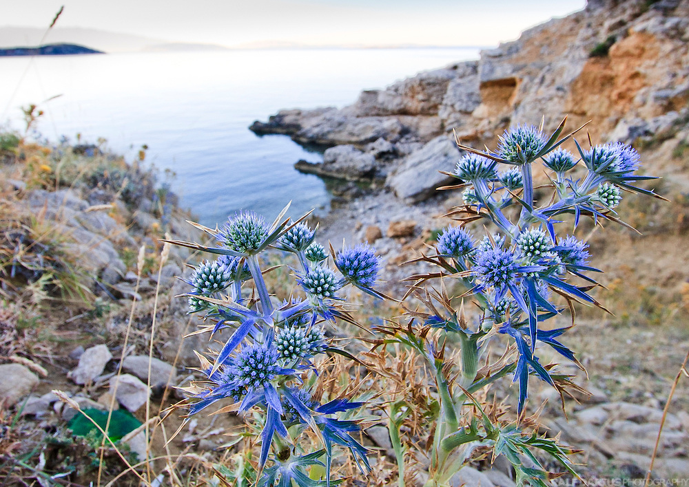EN: Amethyst Sea Holly (Eryngium amethystinum)  on a barren, dry slope beyond a beach close to the village of Stara Baska (Krk), Croatia. This specie is supposed to prefer Calcium rich soils.  ---  DE: Stahlblaue Mannstreu (Eryngium amethystinum) auf einem Hang oberhalb eines kleinen Strands in der Nähe von Stara Baska (Krk), Kroatien. Diese Art bevorzugt Böden mit einem hohem Gehalt an Calcium.
