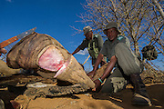 Poached White rhinoceros (Ceratotherium simum)<br /> <br />  Province<br /> SOUTH AFRICA<br /> RANGE: Southern &amp; East Africa<br /> ENDANGERED SPECIES<br /> This animal died from bullet wounds sustained from poachers who did not find it before the game scouts and therefore did not get the horns