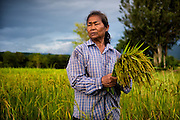 A Thai woman is hand harvesting green (or early) rice in Nakhon Nayok, Thailand. PHOTO BY LEE CRAKER