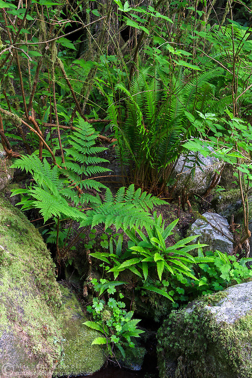 Spiny Wood (Dryopteris expansa) and Deer (Blechnum spicant) Ferns with Salmonberry (Rubus spectabilis) stalks along the Capilano River. Photographed near the Cable Loop Trail above Dogleg Pool in Capilano River Regional Park, North Vancouver, British Columbia, Canada