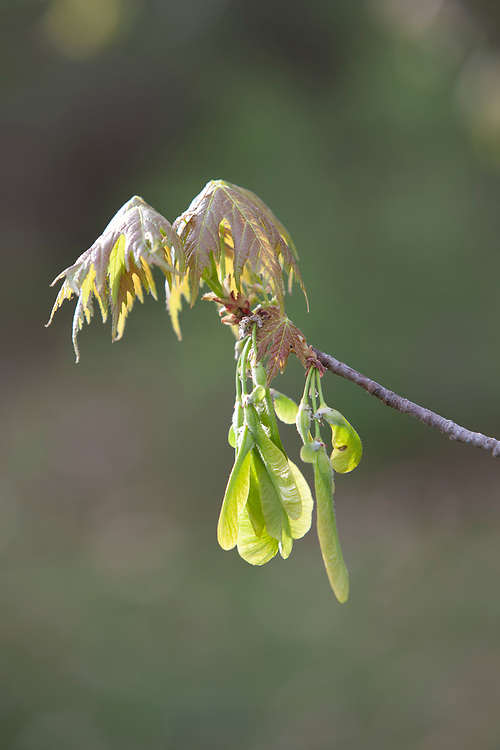 Early growth Red Maple (Acer rubrum) leaves and seeds