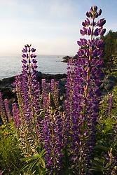 Lupine at Dorr's Point in Maine's Acadia National Park.  Mount Desert Island.