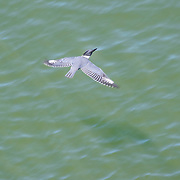 A belted kingfisher (Megaceryle alcyon) flies low over the Snohomish River in Everett, Washington, in search of food.